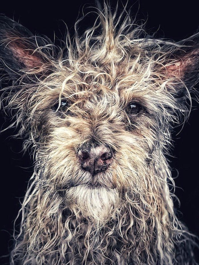 """Dentro de la categoría """"Animales"""", el primer lugar fue para Robin Robertis (EE.UU) con 'Django, Old man baby dog"""" (Dyando, hombre anciano, cachorro). Django es un perro nacido y criado en un monasterio budista en la provincia norteña de Hunan, China. La imagen se tomó con un iPhone 7 Plus en Carlsbad, California, Estados Unidos."""