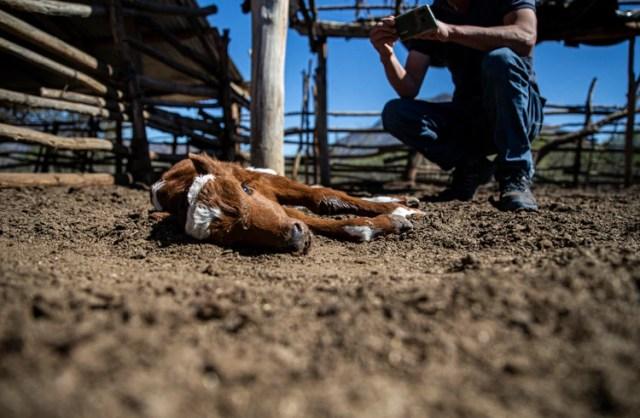 El criador Fredy Moreno toma una foto de un ternero moribundo de dos días en el rancho de Alfredo Estay en Putaendo