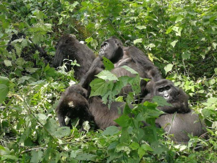 Hasta un tercio del total mundial de gorilas de la montaña viven en el parque (Foto: Facebook @The Elite AntiPoaching Units And Combat Trackers)