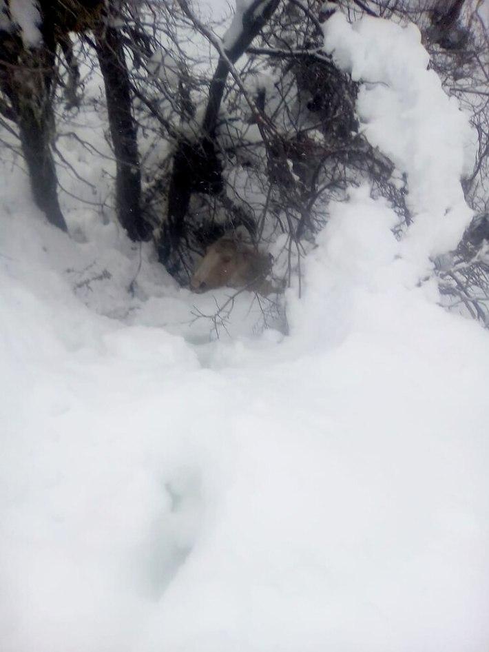 Uno de los caballos rescatados estaba enterrado en la nieve
