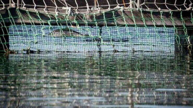 Cada jaula de salmones ocupa el espacio de una cancha de fútbol
