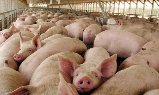 El sector porcino cierra el presente año con buenos números en faena, producción y exportación
