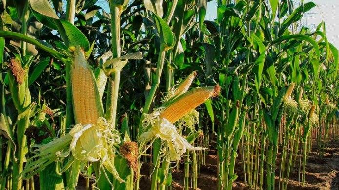 Según las proyecciones del gobierno, por primera vez en 20 años la cosecha de maíz superará a la de soja