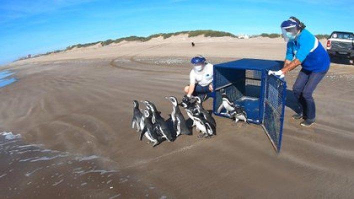 Diez pingüinos regresaron al mar luego de recuperarse de un cuadro de desnutrición y anemia. (Fundación Mundo Marino)