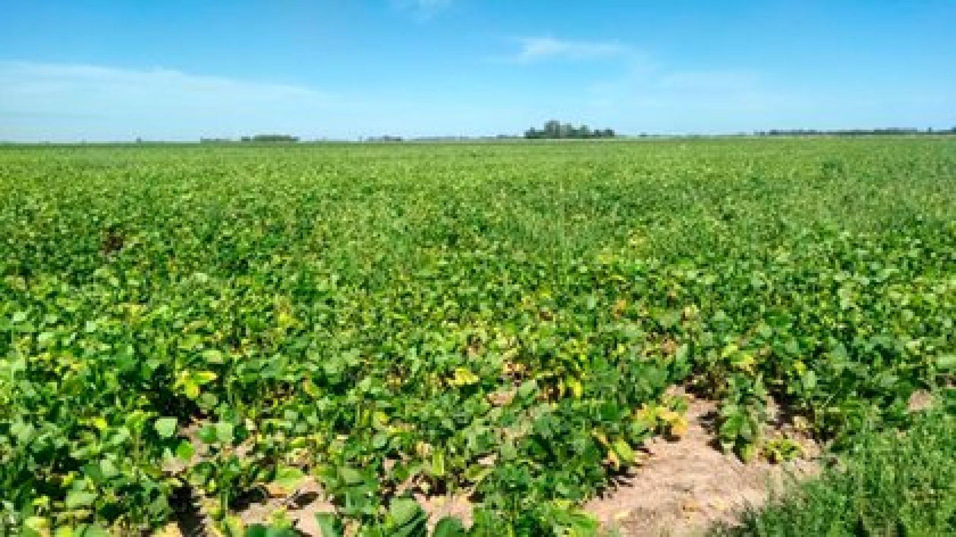 Lotes de soja en la provincia de Buenos Aires afectados por la falta de lluvias (Martín Goinzueta)
