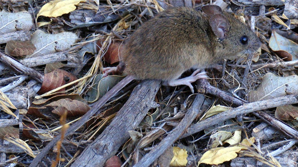 El ratón Colomys callosus es el encargado de transmitir el Machupo en Bolivia, un ratón que habita las zonas rurales tropicales, conocido también como ratón maicero. En Argentina es el Colomys musculinus el ratón colilargo que transmite el hantaviurus