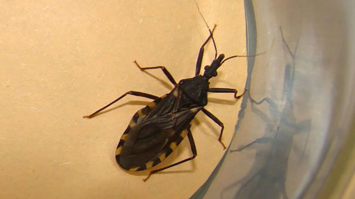 La vinchuca es el vector que transmite la enfermedad de Mal de Chagas (OMS)