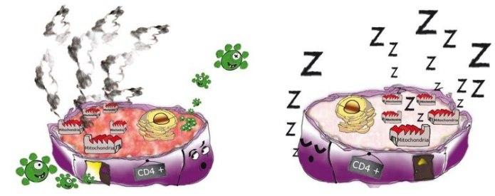 Representación esquemática de los linfocitos T CD4 (en violeta). A la izquierda: el linfocito T CD4, en el que re registra una fuerte actividad metabólica, es infectado por el virus del VIH (en verde). A la derecha, en el linfocito T CD4 no se registra actividad metabólica y resiste a la infección (© Institut Pasteur/Nicolas Huot)