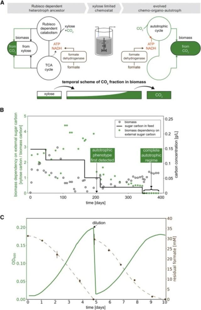 Estrategia evolutiva adaptada de una cepa de E. coli (Foto: Cell)