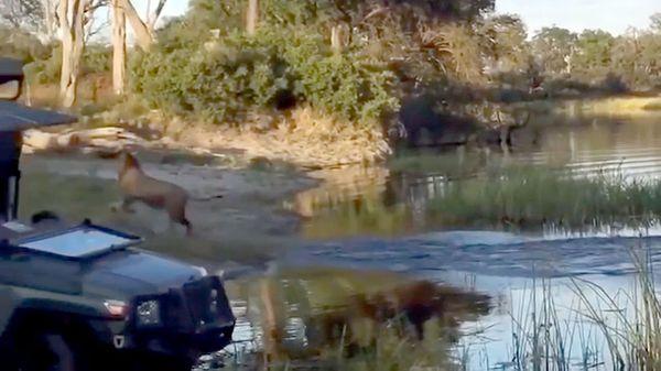 El león logró regresar a su punto de partida, su hermano mayor consiguió escapar del cocodrilo que los atacó (YouTube)