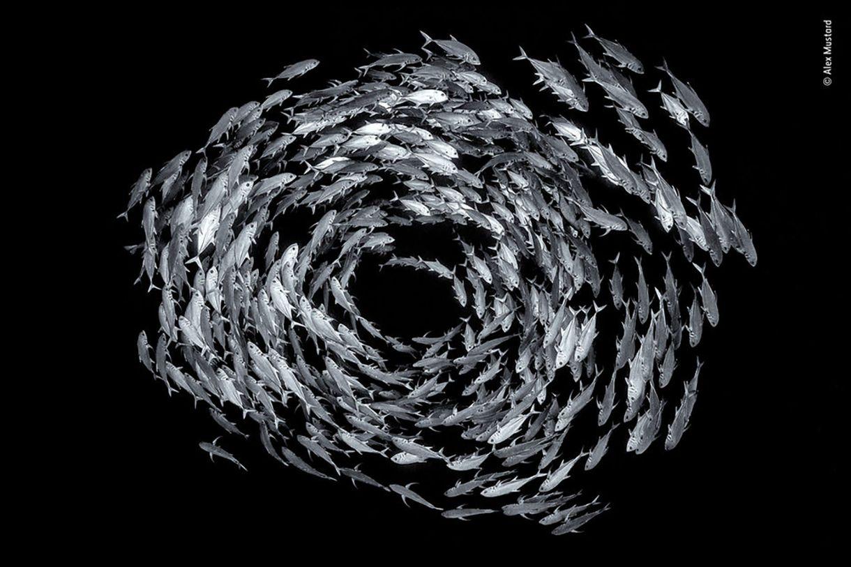 Un banco de peces caranx sexfasciatus (bigeye travelly fish) circulan a 25 metros de profundidad, al borde de un arrecife en el Mar Rojo. (Alex Mustard/Fotógrafo de la fauna silvestre del año)