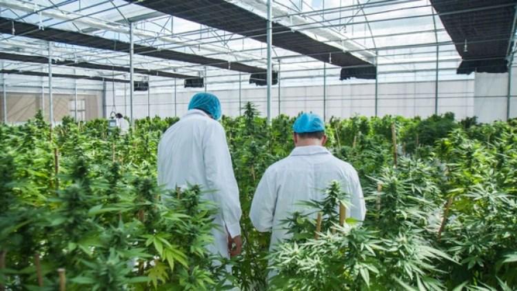 Invernáculo de cannabis de la empresa International Cannabis Corp., habilitada en Uruguay