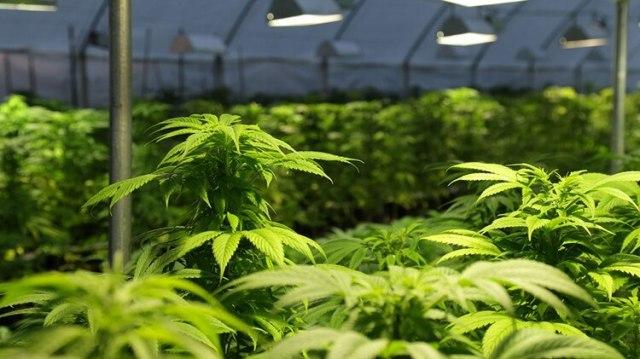 (International Cannabis Corp.)