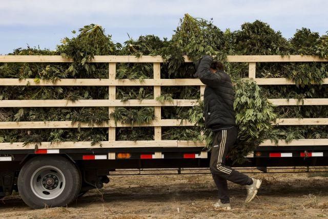 El Gobierno pretende generar facilidades para que cultiven cannabis las pequeñas y medianas empresas, cooperativas y se fomenten las economías regionales con perspectiva de género (Bloomberg)
