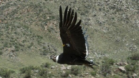 Un cóndor en pleno vuelo en Mendoza. Será la imagen del billete de 50
