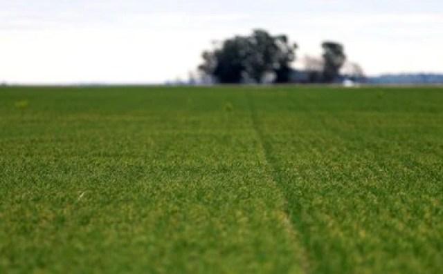 La falta de lluvias y sucesivas heladas afectaron a la siembra del trigo,  en el centro y el norte del área agrícola ( REUTERS/Agustin Marcarian)