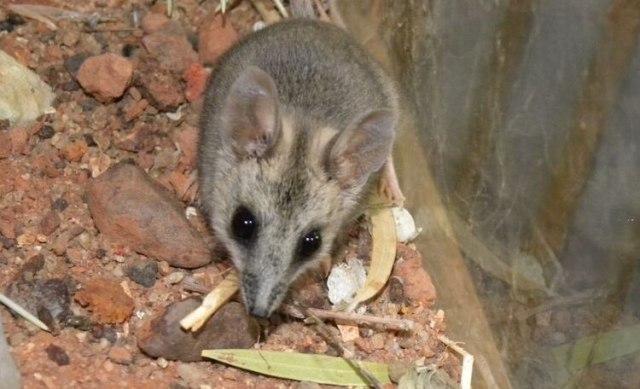 Dunart o raton marsupial (Gentileza Alan Couch)