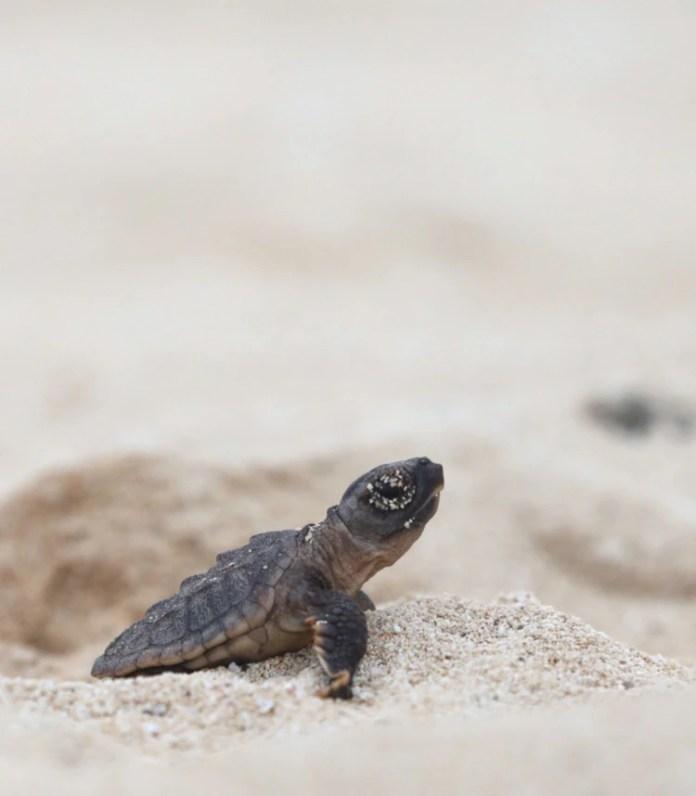 El aumento de las temperaturas de la arena fomentan la reproducción de un sólo género. (Foto: @PtoMorelosAyto)
