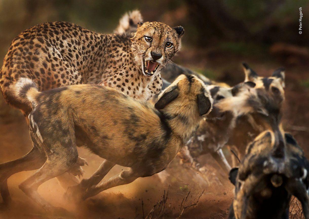 Una chita macho es atacado por perros salvajes africanos en la Reserva Privada de Caza de Zimanga, KwaZulu-Natal, Sudáfrica. (Peter Haygarth/Fotógrafo de vida silvestre del año)