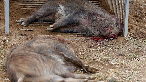 En los últimos tres años se han matado 13 mil ejemplares. Pero para las autoridades ese número es insuficiente (Reuters)