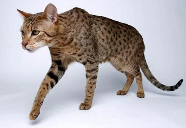 El ashera, un gato que puede llegar a pesar 14 kilos