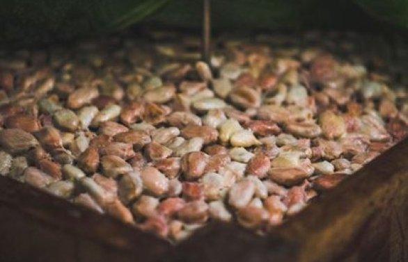Las semilla de cacao contienen metilxantina