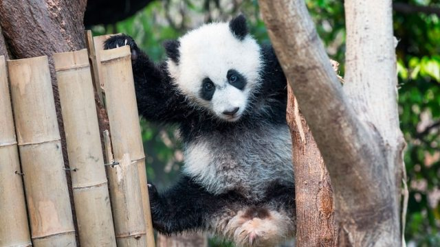 Los pandas son vegetarianos y consumen entre 12 y 36 kilos de bambú por día. (Shutterstock)