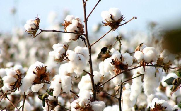 En el caso del algodón, la crisis en el sector textil a nivel mundial desatada por la pandemia de coronavirus golpeó de lleno a la actividad, en especial en Argentina, donde la gran mayoría del producto se despacha al exterior.