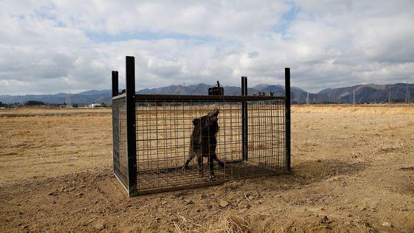 El gobierno de Fukushima dispone de un plan de caza de jabalíes, pero es insuficiente (Reuters)