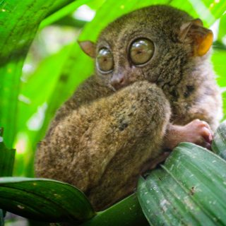 Philippine Tarsier And Wildlife Sanctuary Corella, Bohol, Philippines! 001