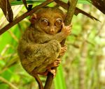 Philippine Tarsier And Wildlife Sanctuary Corella, Bohol, Philippines! 006