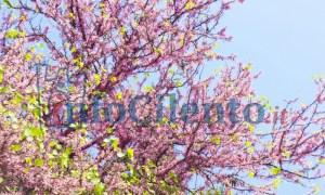 albero_giuda