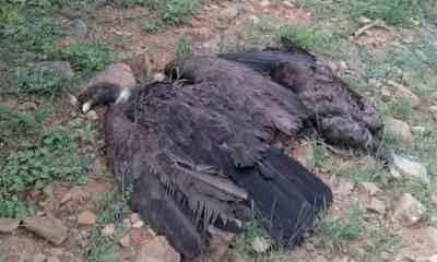 Cóndor envenenado