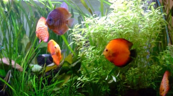 Choix des plantes et spécificités pour aquariums à Discus