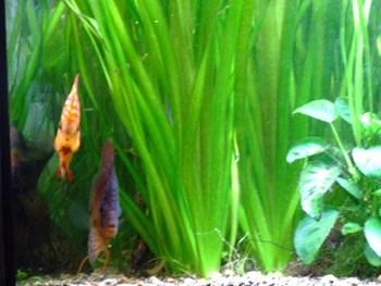 plantes aquarium discus