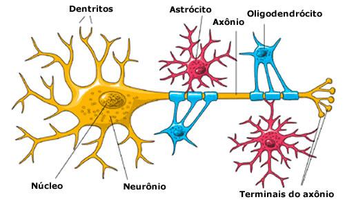 Resultado de imagem para neuronio oligodendrócito