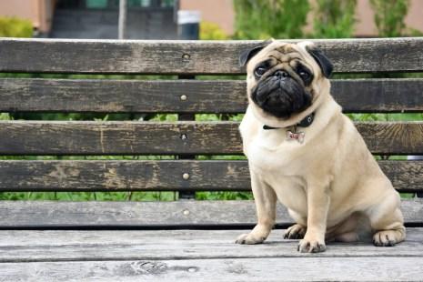 Problemas de saúde dos pugs - Medicina Veterinária - InfoEscola