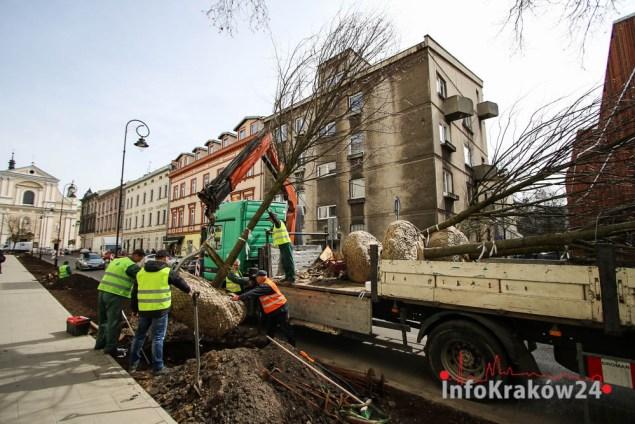 Nasadzenie drzew na ulicy Rajskiej. Fot. Jan Graczyński / INFO Kraków24