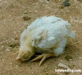 How To Prevent And Control Poultry Diseases