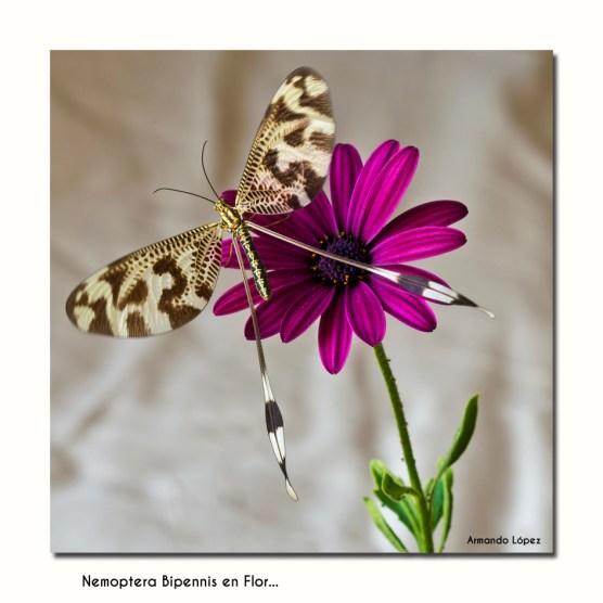 Nemoptera en flor