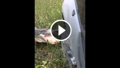 Alligator se bat contre une Voiture 4x4