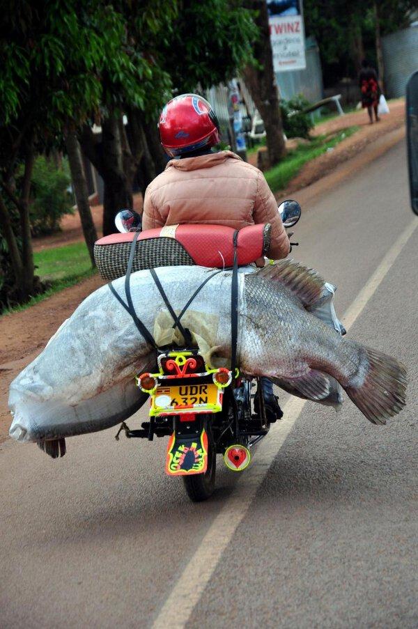 A fisherman carries a big fish on his bike, near Lake Victoria, in Jinja, Uganda, on November 06, 2012. Photo by Ibrahim Suzer/AA/ABACAPRESS.COM