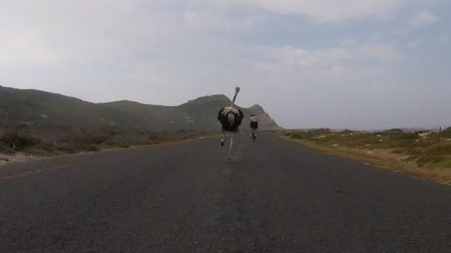 Des cyclistes poursuivi par une autruche
