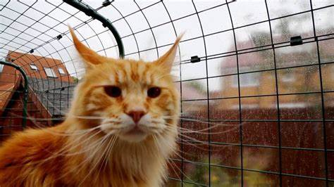 Les chats ne seraient pas à l'abri du COVID-19