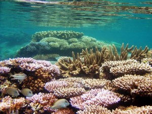 A coral garden in Majuro lagoon. Photo: Dean Jacobson