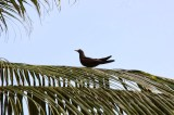 A sooty tern perched on a palm front. John and Sally-Anne Potter, SY Capall Mara