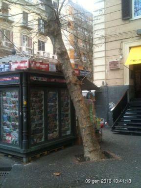 Piazza Vanvitelli albero pendente