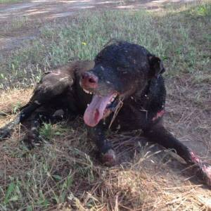 Pozzuoli, tortura e brucia vivo un cane solo perchè sorpreso ad accoppiarsi con la sua cagnolina. Denunciato