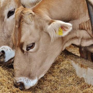 Caserta: bovini affetti da brucellosi nascosti ai controlli ufficiali. 12 indagati, tra cui 5 veterinari dell'A.S.L. di Caserta. Due allevamenti nel mirino della Procura