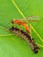 Braconid wasp © Scott Bauer, USDA Agricultural Research Service, Bugwood.org